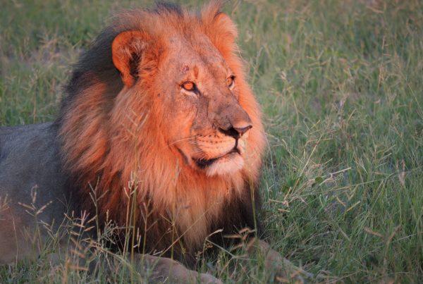 Male lion portrait Okavango Delta