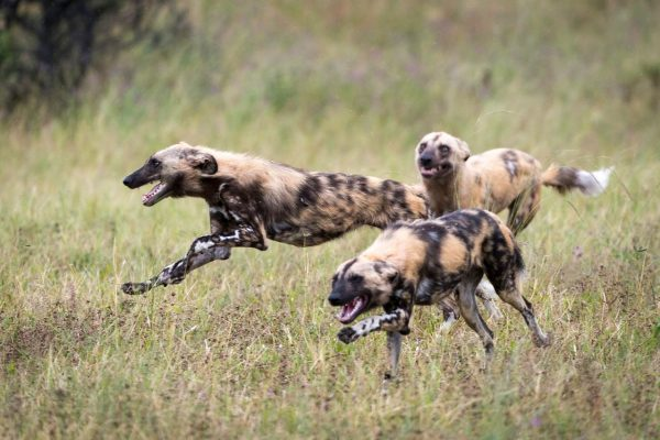 Wild dog caper
