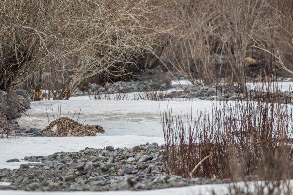 Snow leopard crossing a river