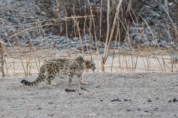 Snow leopard stalking Rambuk
