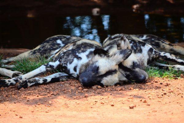 Wild dog sleeping
