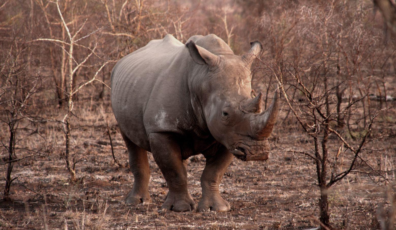 Lone white rhino in thorn scrub