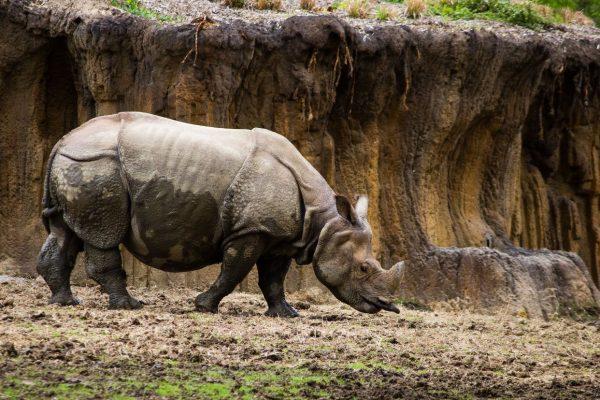 Lesser one horned rhino