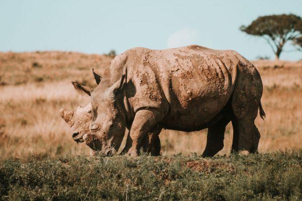 Two mud-caked rhino grazing
