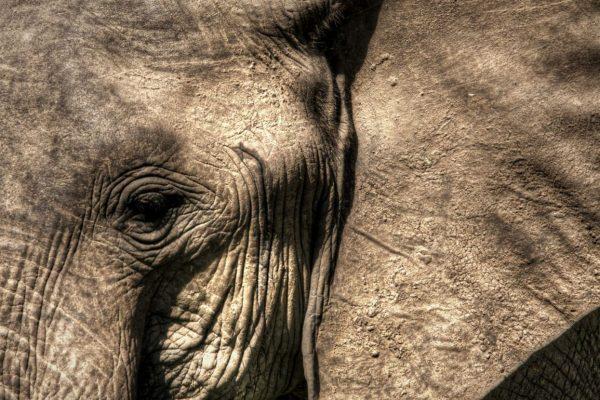 Close-up elephant eye