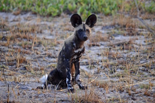Wild dog with ears pricked