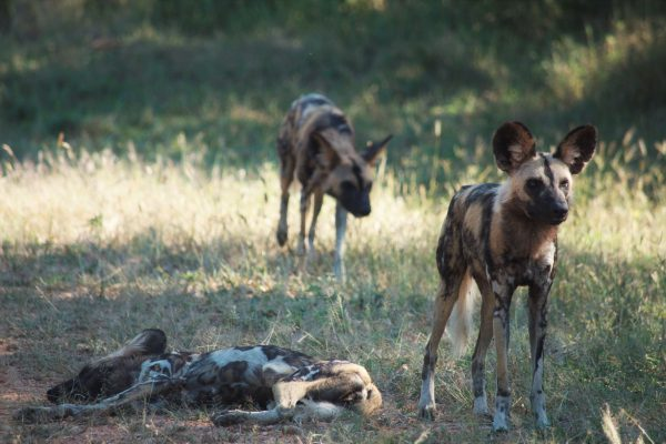 Pack of wild dog