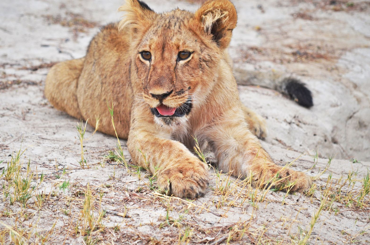 Lion cub after a meal