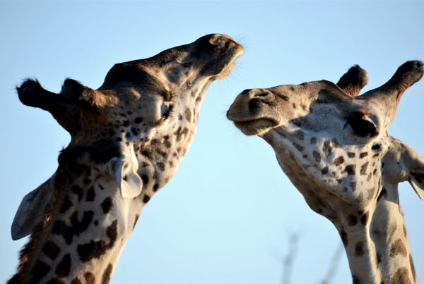 Two giraffe facing each other