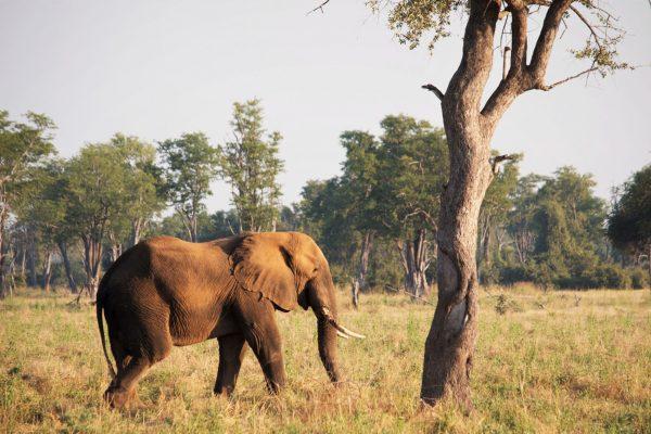 Bull elephant under tree