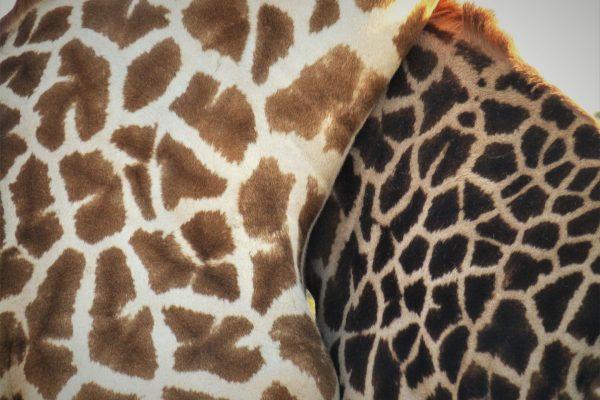 Giraffe skin markings close up.