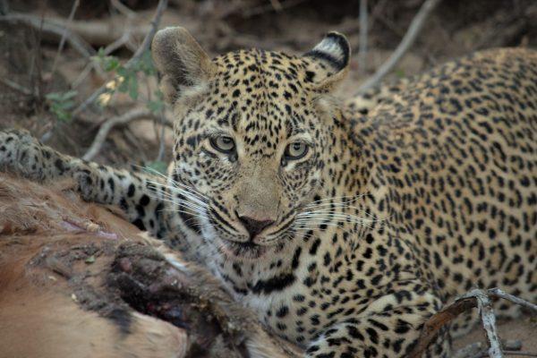 Leopard on a kill