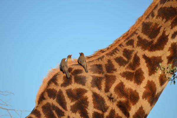 Tick birds on a giraffe neck