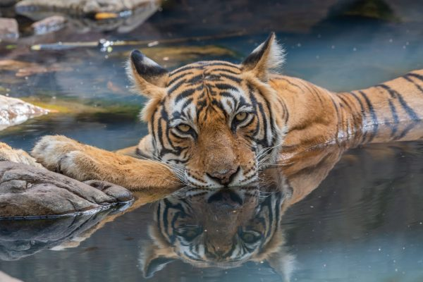 Tiger in water Ranthambore