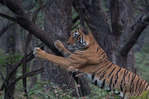 Tiger clawing tree