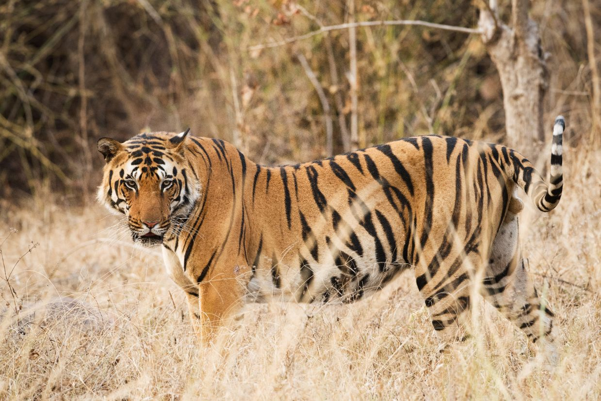How, Where and When Can You See a Tiger in the Wild