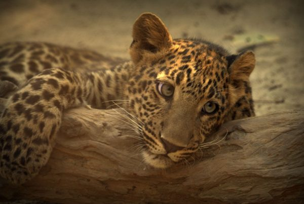 Leopard cub on branch