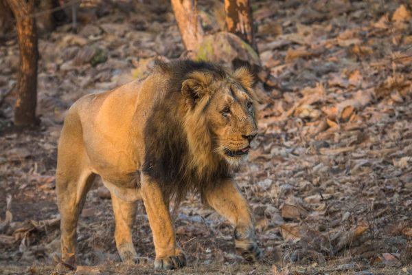 Asiatic male lion