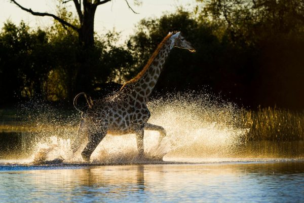 Giraffe splashing through water