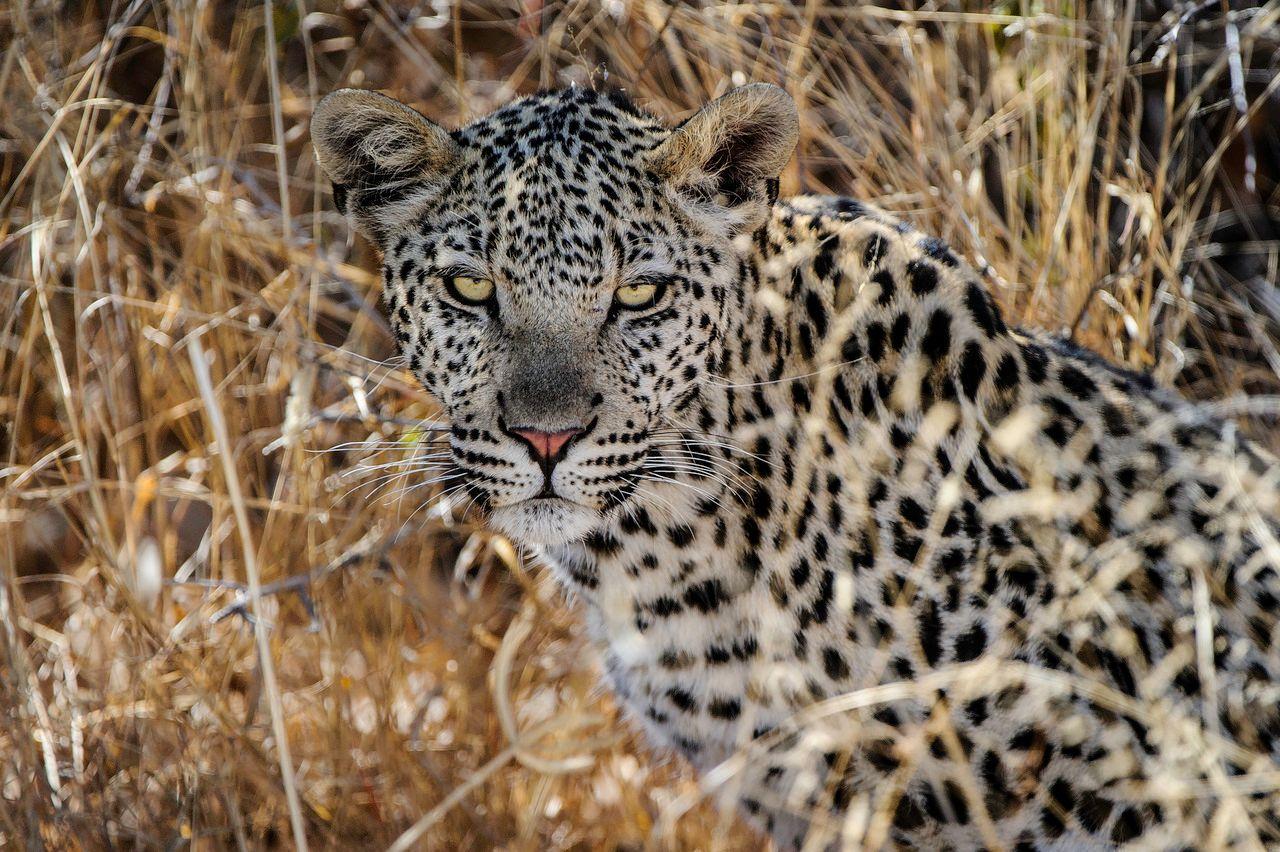 Portrait view of leopard