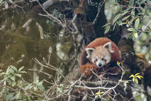 Red panda curled on a branch