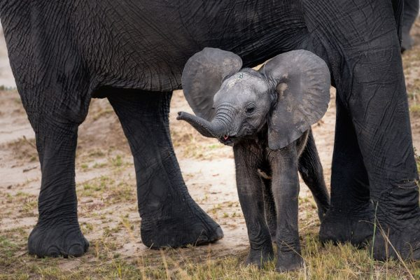 Baby elephant under his mother's belly