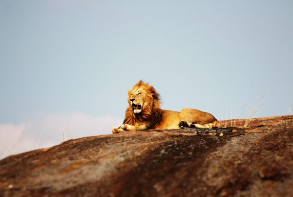 Lion perched on a rocky outcrop