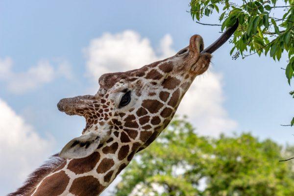 Long giraffe tongue