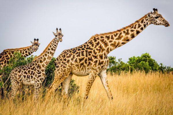 A trio of giraffe
