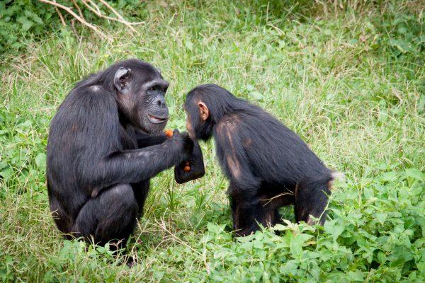chimpanzee-bill-wegener-iGiGw802P8k-unsplash-resize