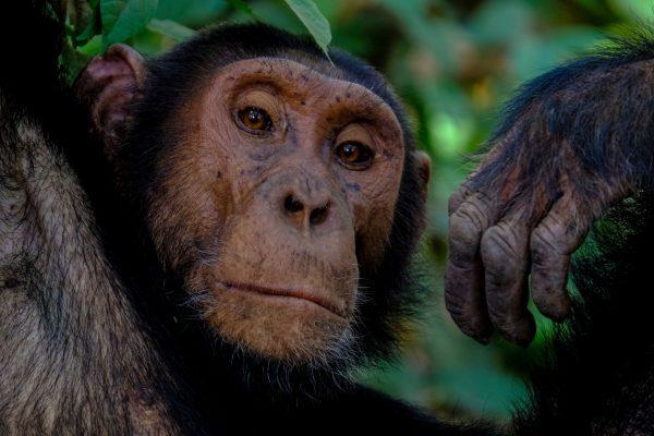 chimpanzee - francesco-ungaro-O4A-zGH8u-Y-unsplash-resize2
