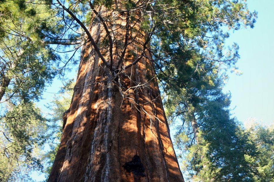 Cedar tree Yosemite National Park