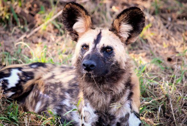 Wild dog Kafue, western Zambia